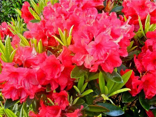 Rhododendron Copyright http://www.onlineflowergarden.com