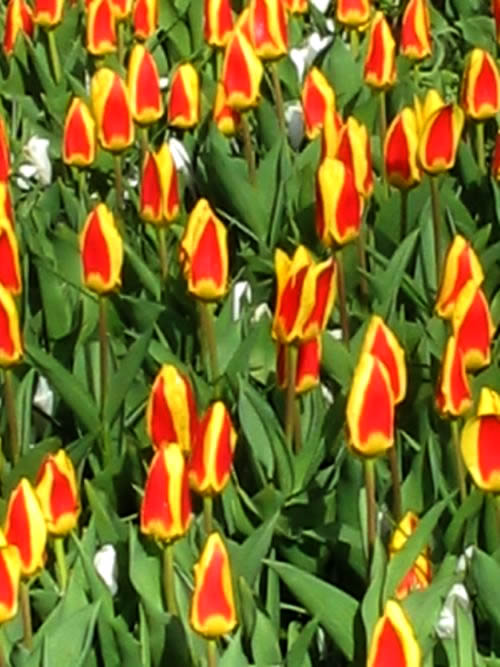 Tulip Yellow and Red - Copyright https://www.onlineflowergarden.com