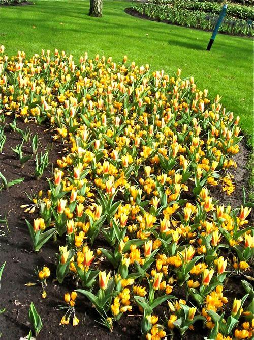 Tulip, Crocus - Copyright http://www.onlineflowergarden.com