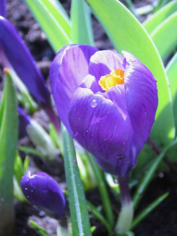 Crocus - Copyright http://www.onlineflowergarden.com