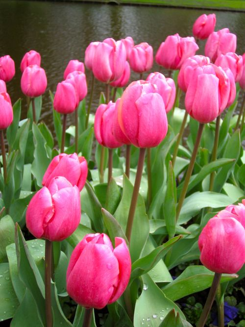 Pink Tulip - Copyright http://www.onlineflowergarden.com