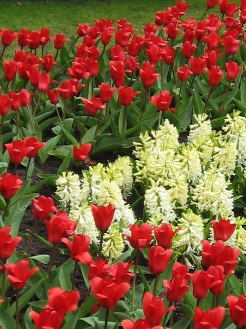 Tulip - Copyright http://www.onlineflowergarden.com