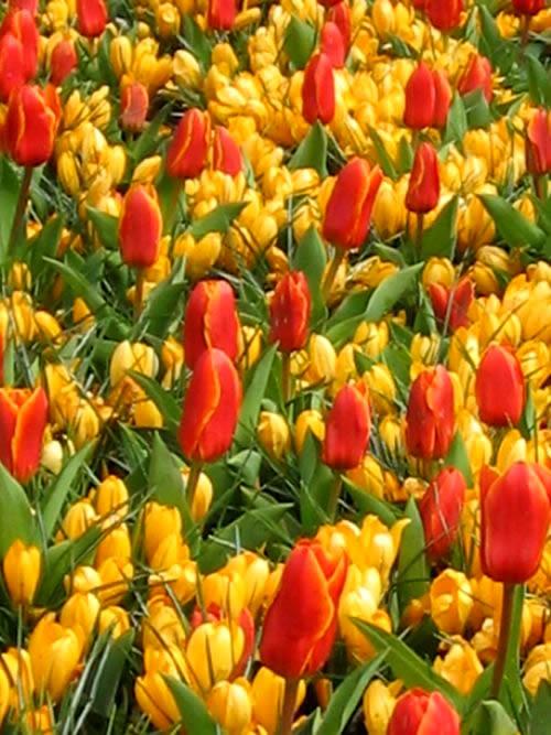 Keukenhof Copyright http://www.onlineflowergarden.com