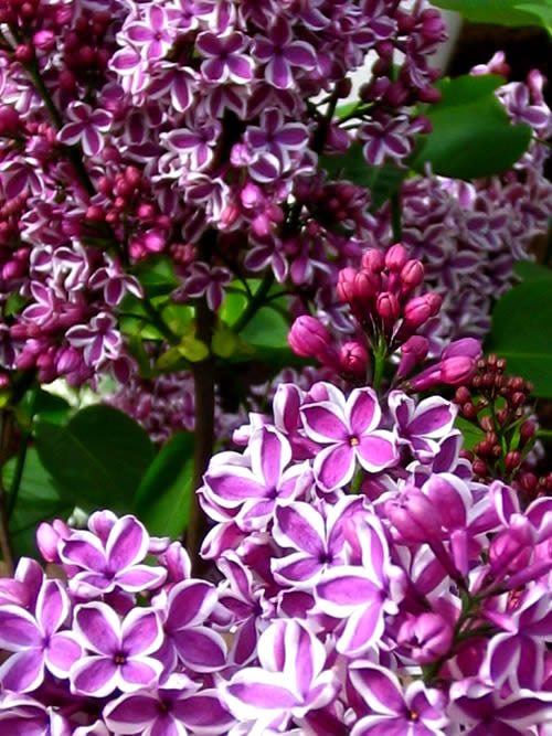 Lilac Sensation adds an interesting twist with white edges on the flowers.