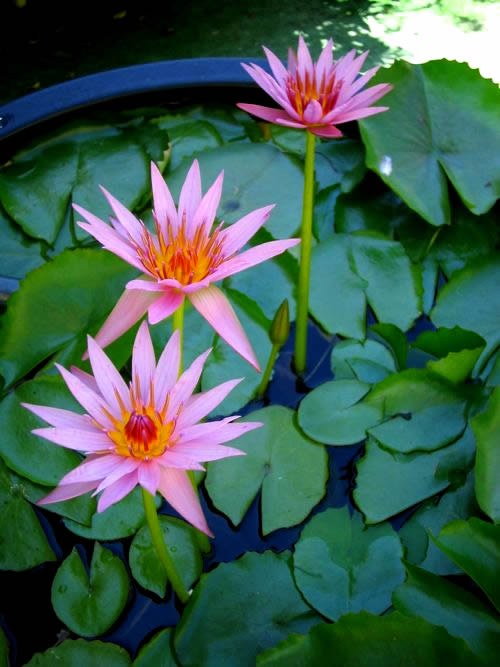 Water Lily Copyright http://www.onlineflowergarden.com