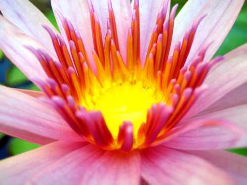 Water Lily - Copyright http://www.onlineflowergarden.com