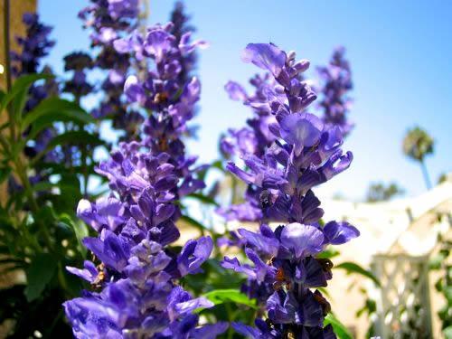 Blue Salvia Copyright http://www.onlineflowergarden.com