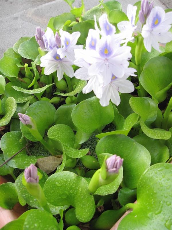 Water Hyacinth copyright http://www.onlineflowergarden.com