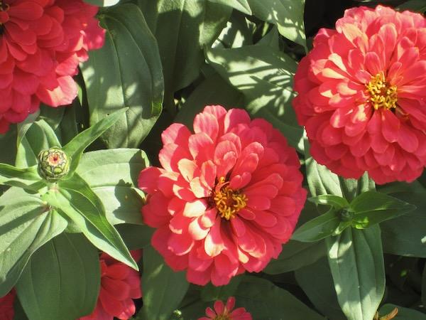 Zinnia copyright http://www.onlineflowergarden.com
