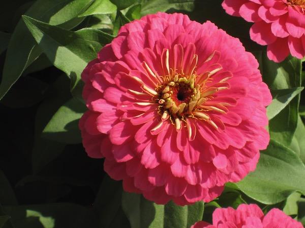 Zinnia http://www.onlineflowergarden.com