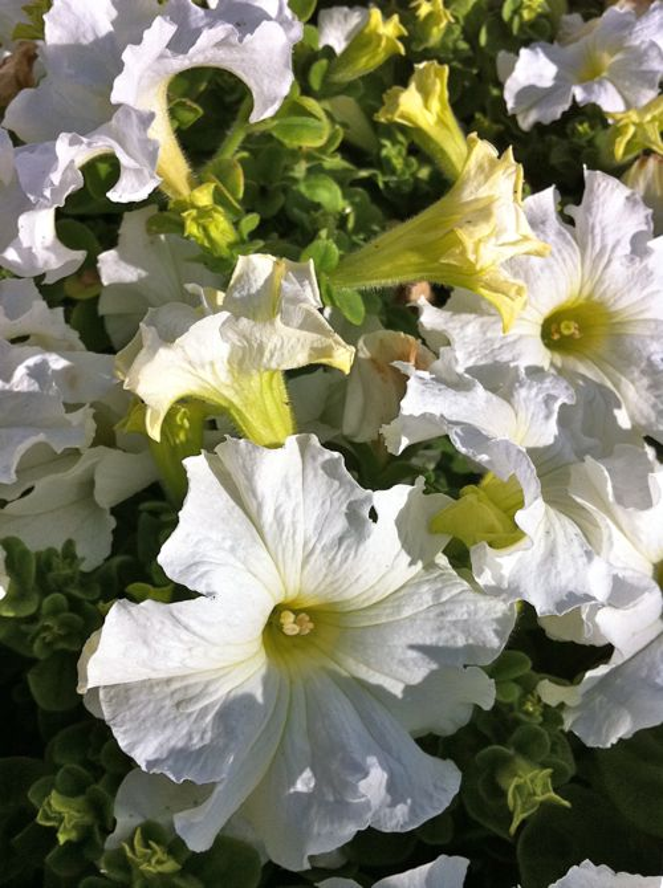 Petunia copyright http://www.onlineflowergarden.com