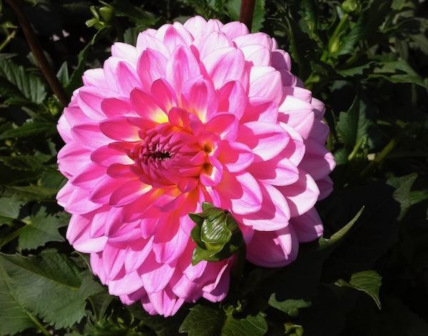 Dahlia copyright http://www.onlineflowergarden.com