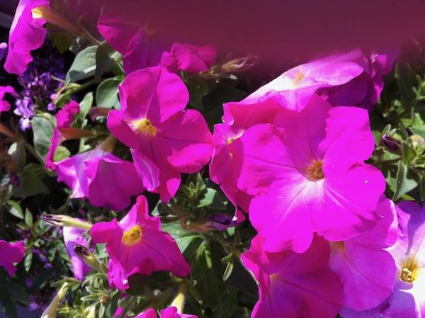 Petunia copyright https://www.onlineflowergarden.com