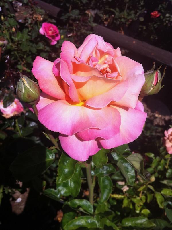 Chicago Peace Rose http://www.onlineflowergarden.com