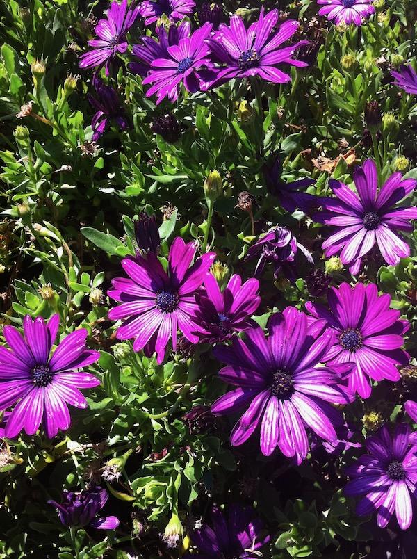 Osteospermum copyright http://www.onlineflowergarden.com