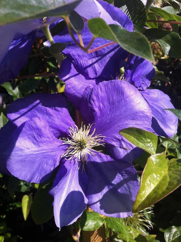 Clematis copyright www.onlineflowergarden.com