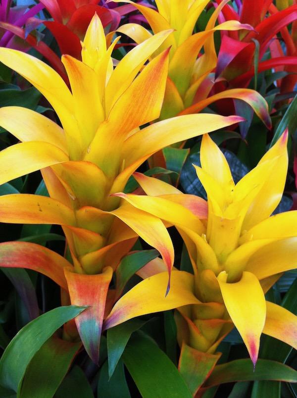 Bromeliad http://www.onlineflowergarden.com