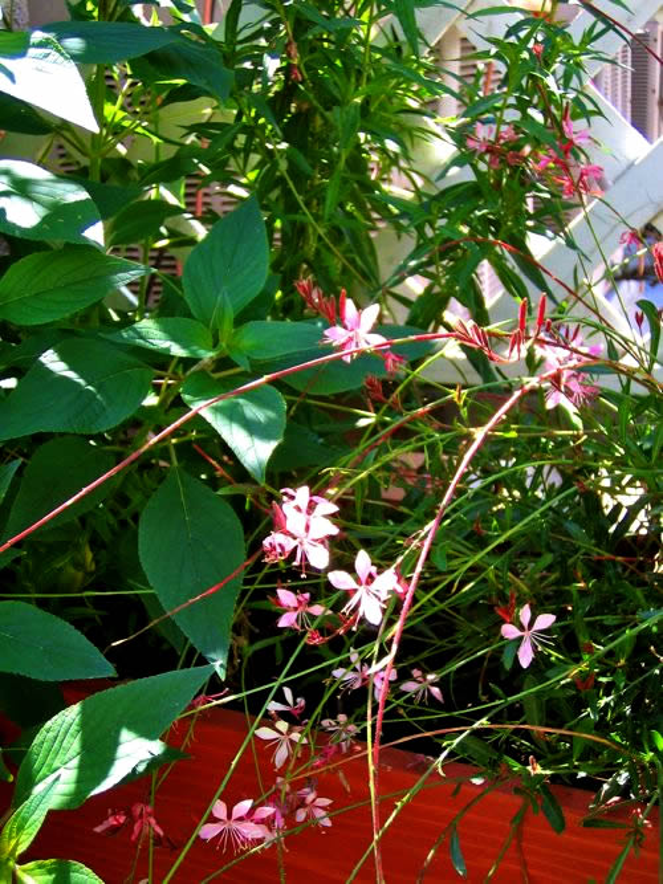 Pink Gaura http://www.onlineflowergarden.com