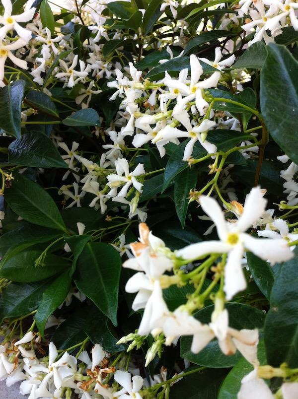 Jasminum auriculatum copyright onlineflowergarden.com