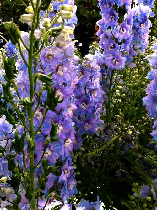 Delphinium copyright onlineflowergarden.com