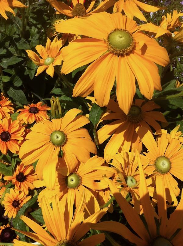 Rudbeckia copyright http://www.onlineflowergarden.com