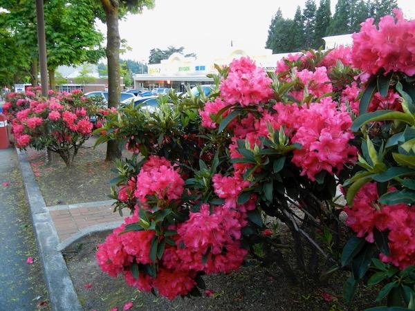 Rhododendrons onlineflowergarden.com
