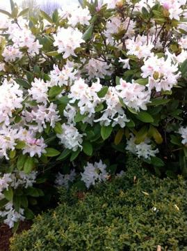 Rhododendron onlineflowergarden.com