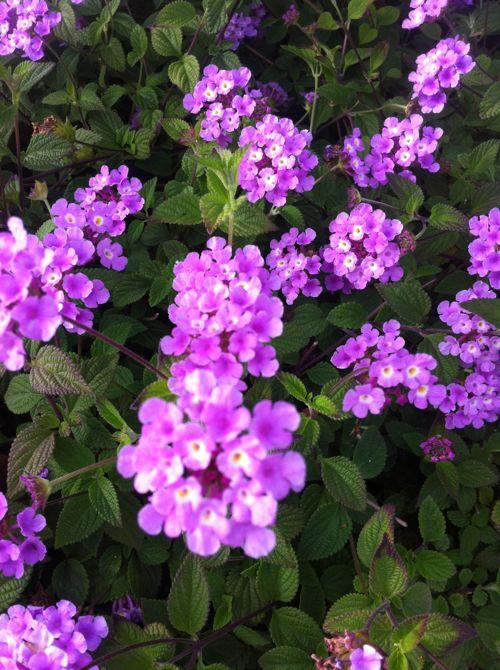 Lantana www.onlineflowergarden.com