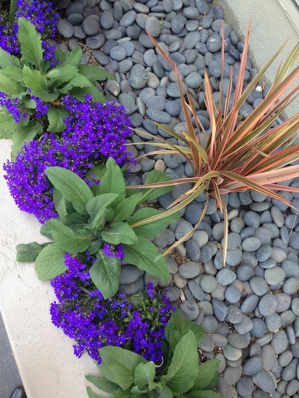 Lobelia onlineflowergarden.com