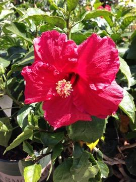 Hibiscus onlineflowergarden.com