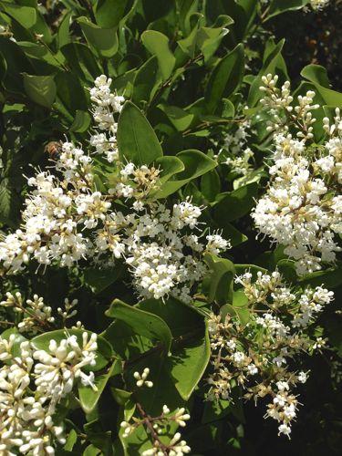 Waxleaf Privet onlineflowergarden.com