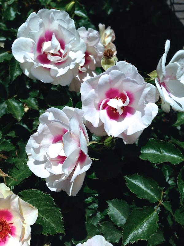 Rosa Bull's Eye onlineflowergarden.com