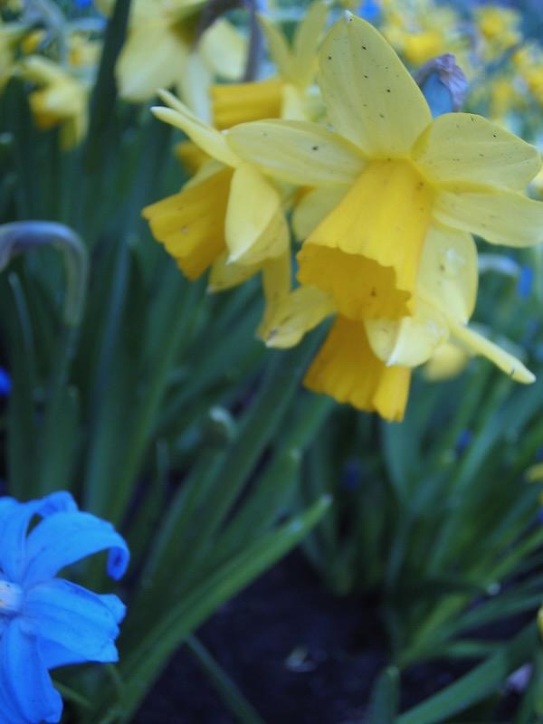 Daffodils www.onlineflowergarden.com