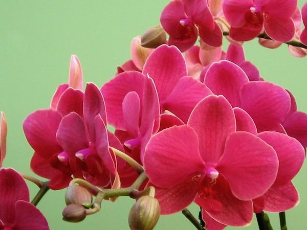 Pink Cimbidiums