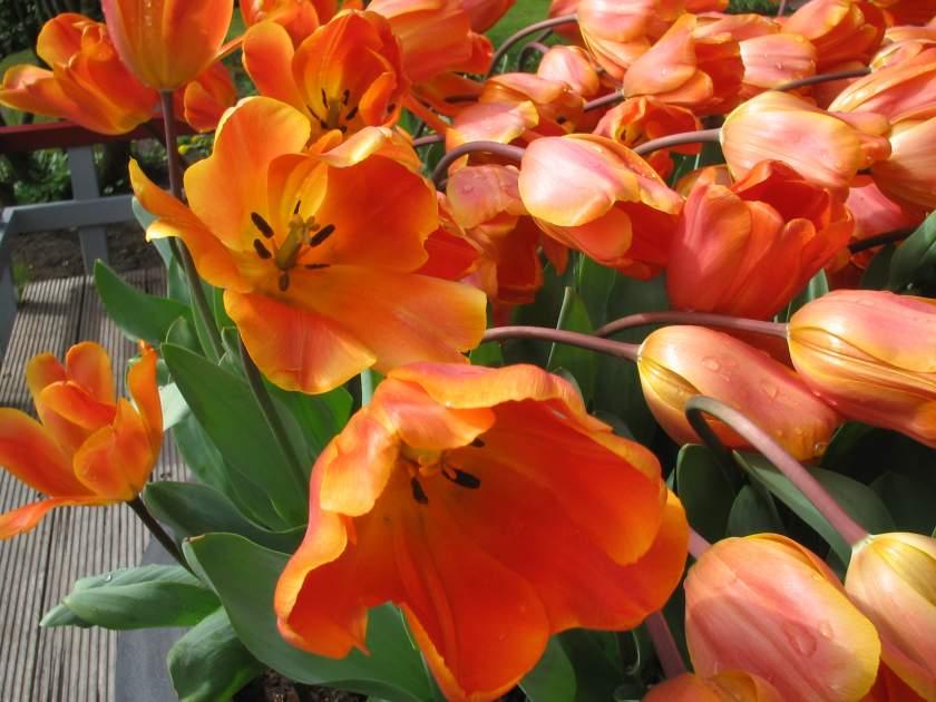 Tulip onlineflowergarden.com