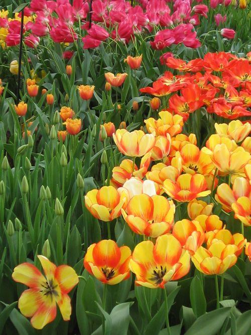 Beautiful Tulip Garden Gardening 28 Images Beautiful