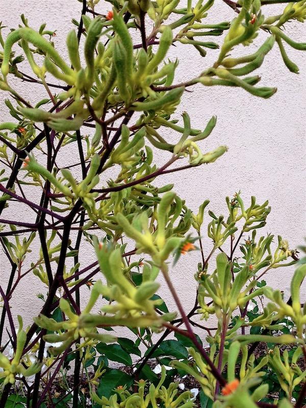 Anigozanthos www.onlineflowergarden.com