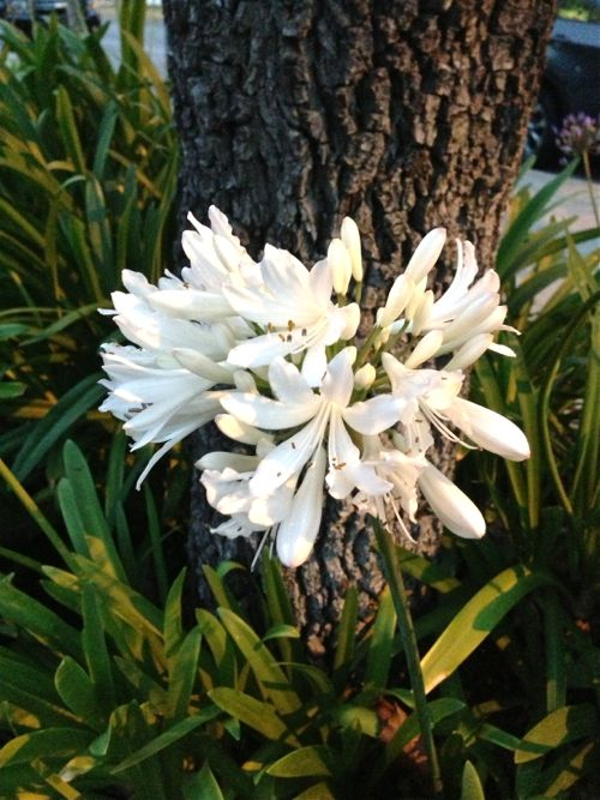 Agapanthus, www.onlineflowergarden.com