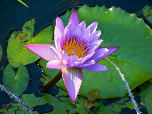 Water Lily in Tahiti