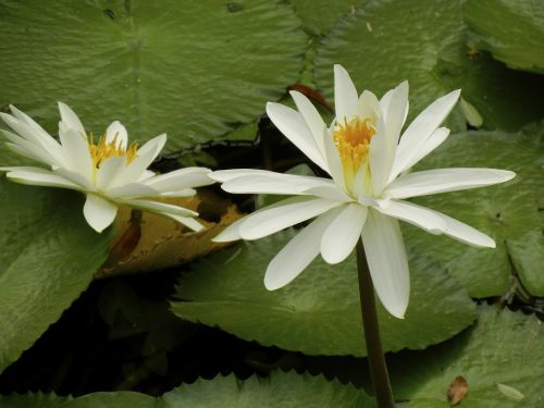 Night Blooming Tropical Water Lily