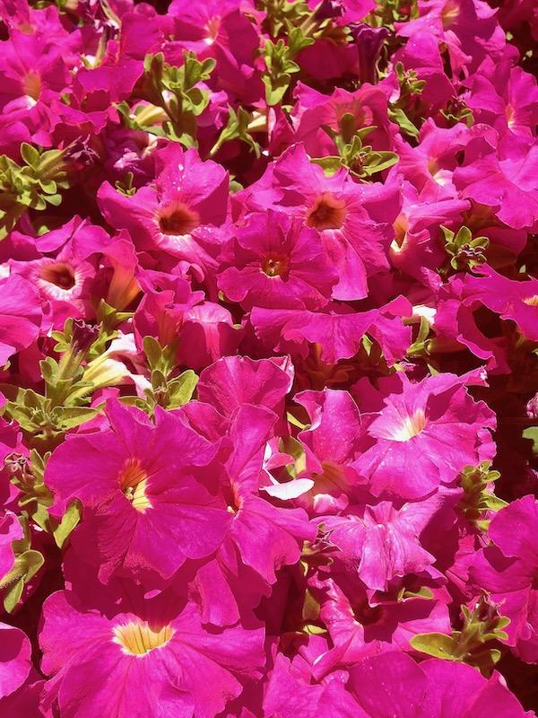 Dark Pink Petunia