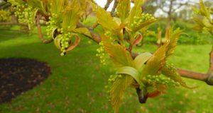 Acer capillipes, Kyushu Maple