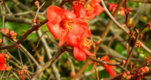 Chaenomeles Superba, Crimson and Gold