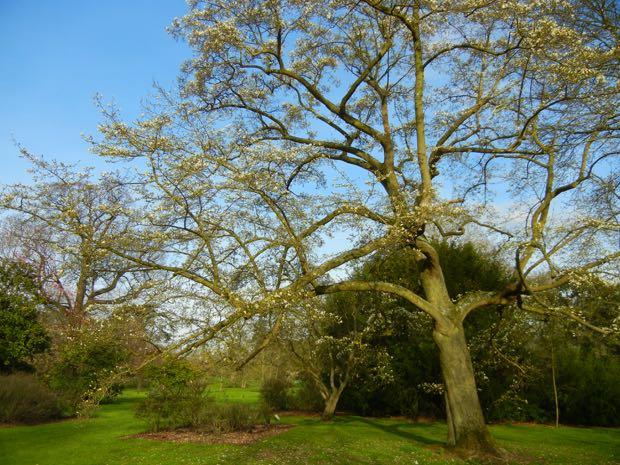 Magnolia kobus  'Borealis'