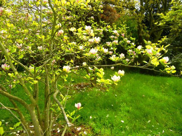 Magnolia, Regent's Park