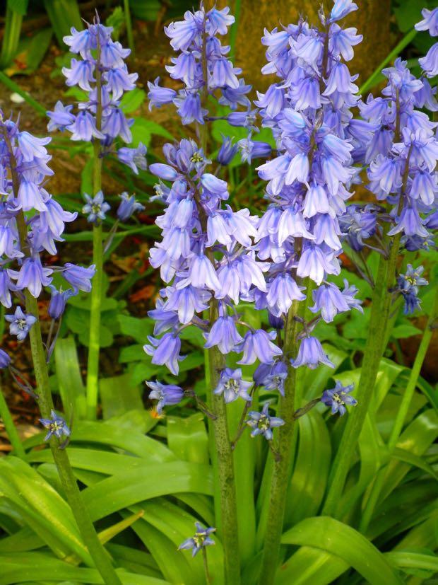 Bluebells, Hyacinthoides non-scripta