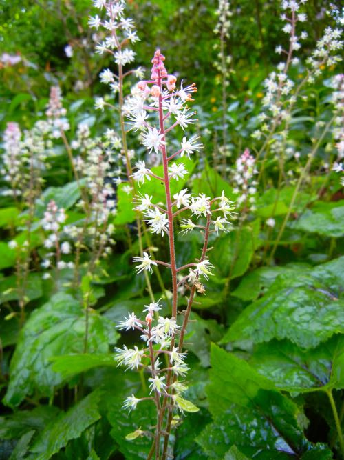 Tiarella Wheriyi Closeup