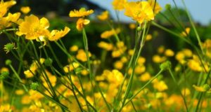 Ranunculus Lanuginosus Yellow Flowers
