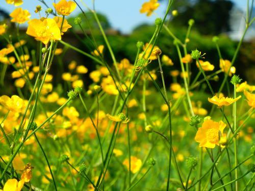Ranunculus Lanuginosus Kew Gardens
