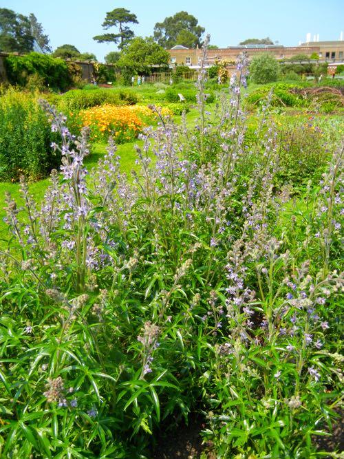 Delphinium Requienii at Kew Gardens